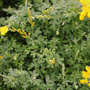 Genista spachiana Bush 17cm