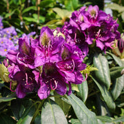 Rhododendron 'My Favourite' Mix 10L ⦰