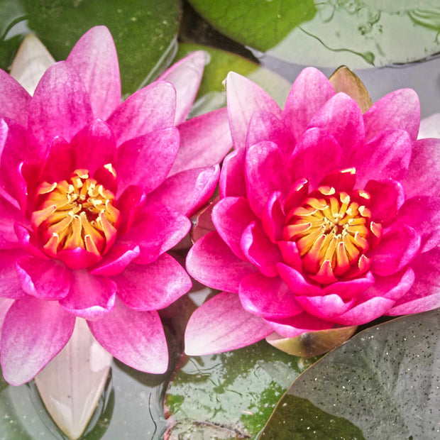 "Nymphaea ""Water Lily"" 3L ⦰"