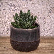 Haworthia Mix by Real Desert™ 5.5cm ⦰