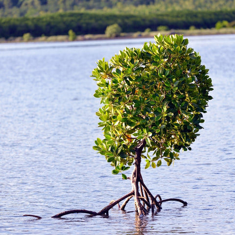 Planting Mangroves with Just One Tree