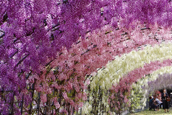 The Hidden Heaven of Japan: Ethereal Ashikaga