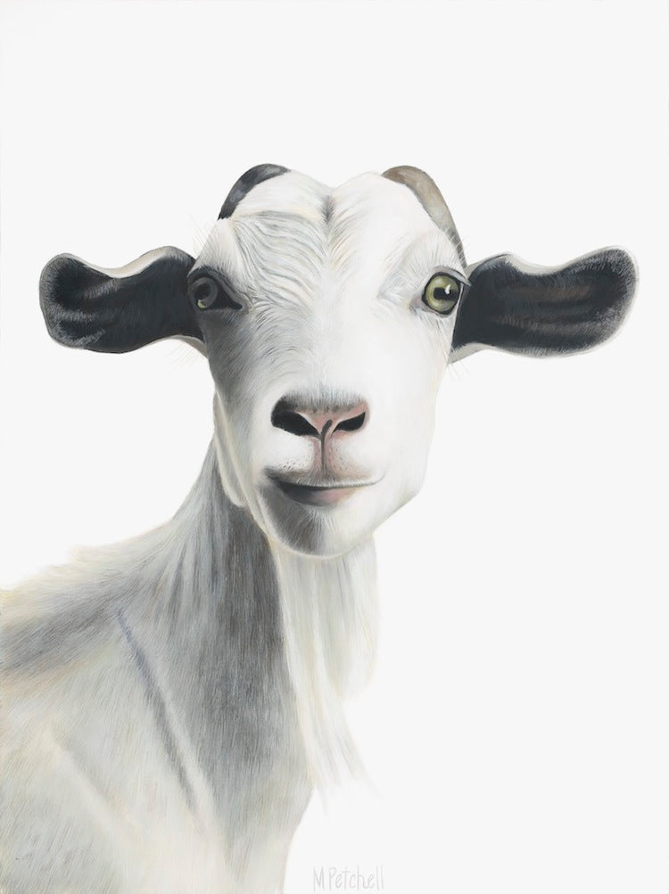 goat fine art print, white bearded goat, new zealand farm animal