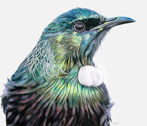New Zealand Tui, fine art print. colourful bird  portrait
