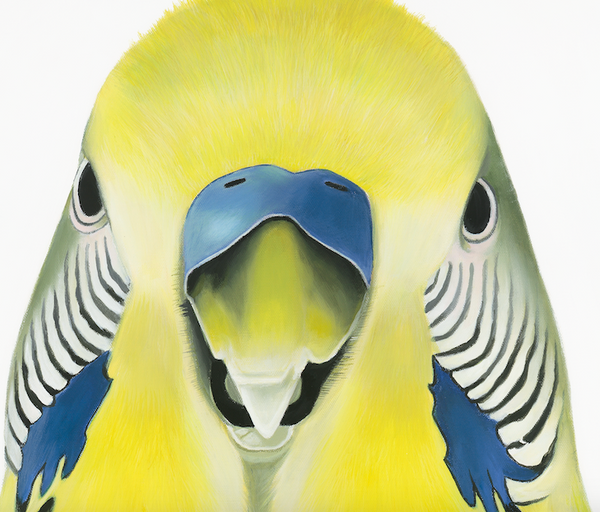 Budgie close up, face detail showing feather patterns