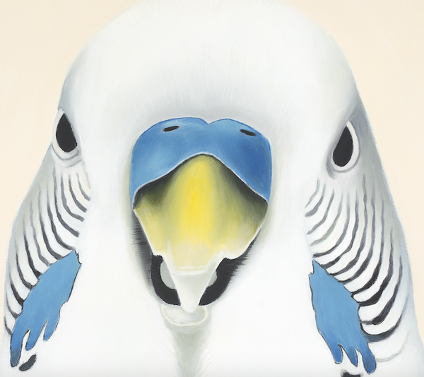 white budgie, close up detail, budgie face, art print