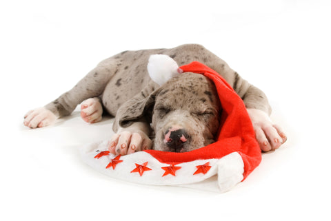 puppy great dane sleeping christmas