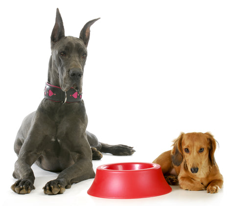 dachshund and great dane eating
