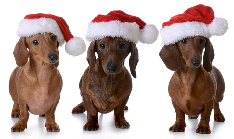 dachshunds in santa hats