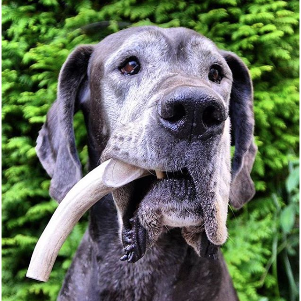 Organic Antler Chews For Dogs - Dope Dog Co