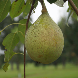 Southern Bartlett Pear