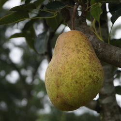Southern Queen Pear