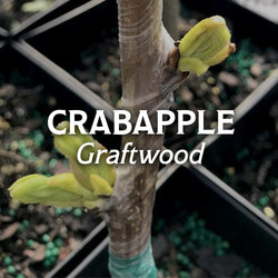Crabapple Graftwood