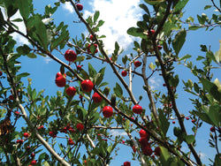 Red Champ Mayhaw