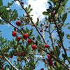 Double GG Mayhaw