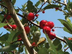 Native Mayhaw