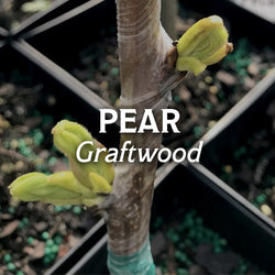 Pear Graftwood