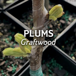 Plums Graftwood