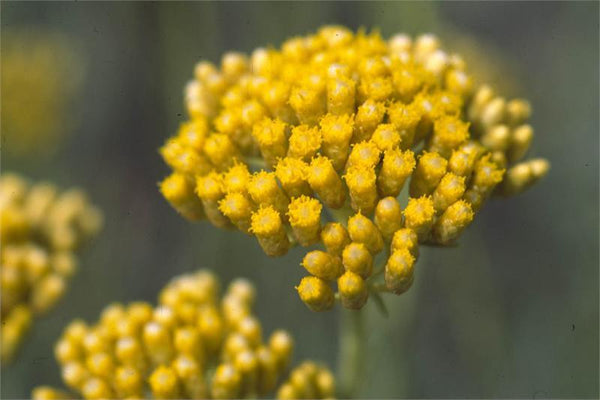 Helichrysum Absolute (Immortelle)