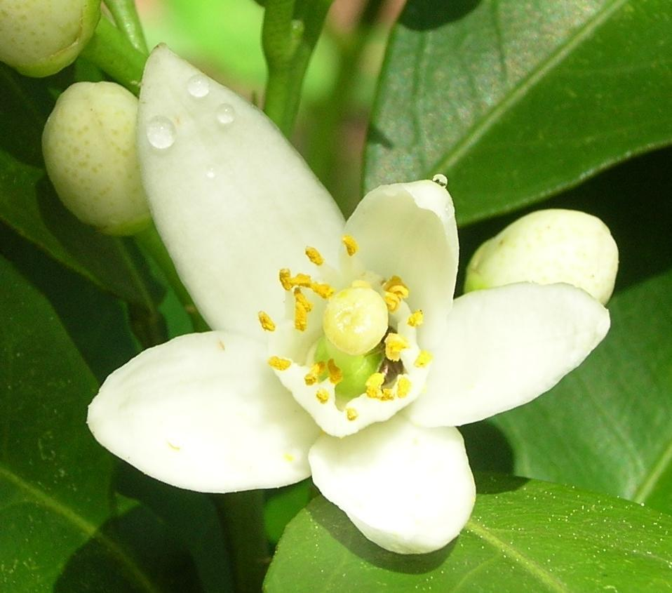 Orange flower Absolute (Citrus bigaradia)
