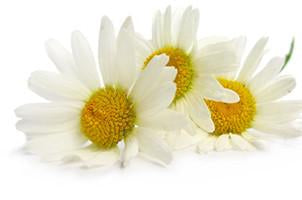 Roman Chamomile, Anthemis noblis, Essential Oil