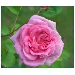 Rose Oil Absolute, Rosa damascena , centifolia