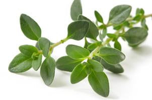 Thyme, Thymus vulgaris,  Essential Oil