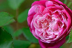 Archduke Charles Antique  Rose Essence, Rosa chinesis