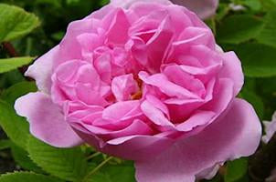Autumn Damask Antique Rose Essence, Rosa damascena bifera