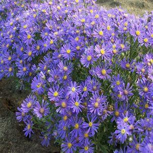 Blue Aster Flower Essence