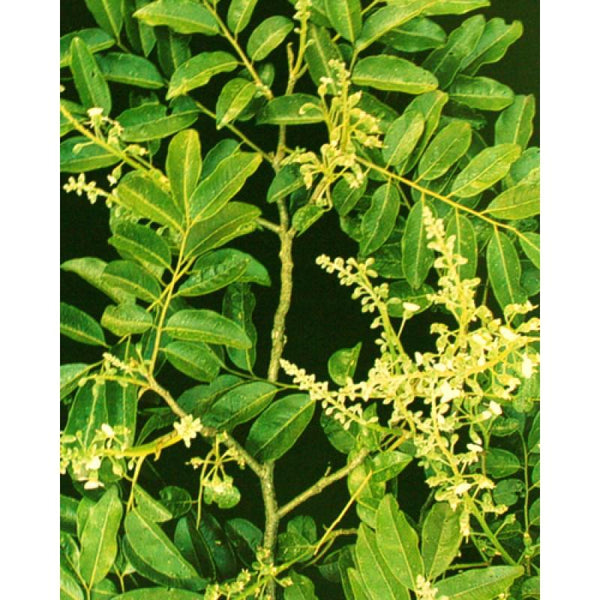 Cabreuva Essential Oil