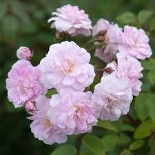 Champney's Pink Cluster, Antique Rose Essence, Rosa chinensis x Rosa moschata