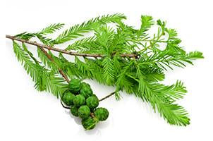 Cypress, Cupressus sempervirens,Essential Oil