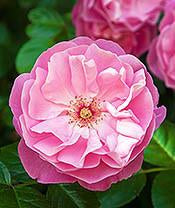 Rose Damask, Rosa damascena, Absolute