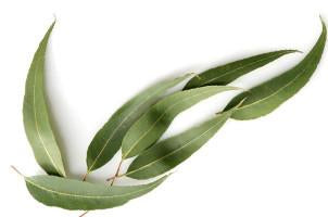 Eucalyptus, citriodora, Essential Oil