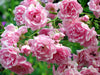 Fairy Rose Antique Rose Flower Essence,Rosa chinensis minima