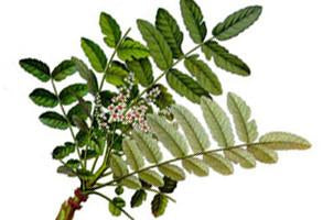 Frankincense, Boswellia sacra/ carteri Essential Oil