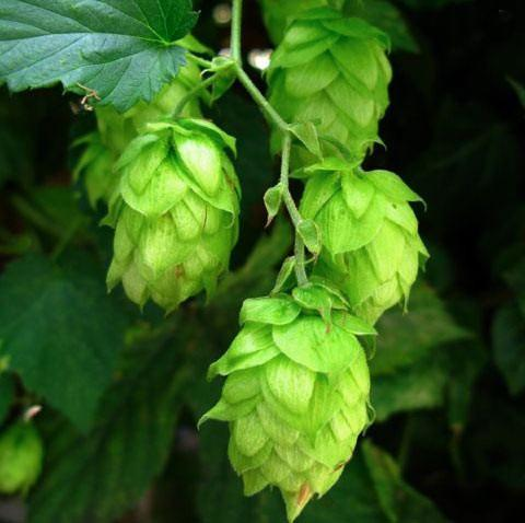 Hops (Humulus lupulus) Essential Oil