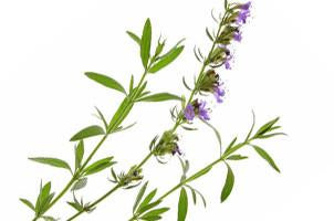 Hyssop, Hysopus officinalis Essential Oil