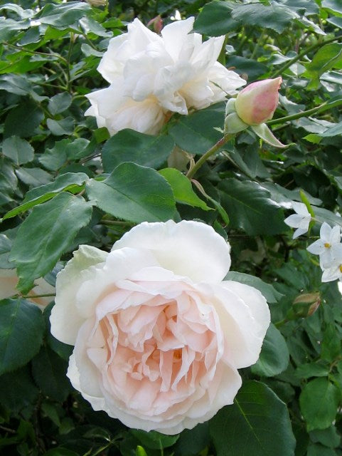 Madame Alfred Carrier Antique Rose Essence, Rosa chinesis,