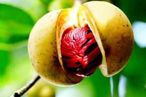 Nutmeg, Myristica fragrans, Essential Oil