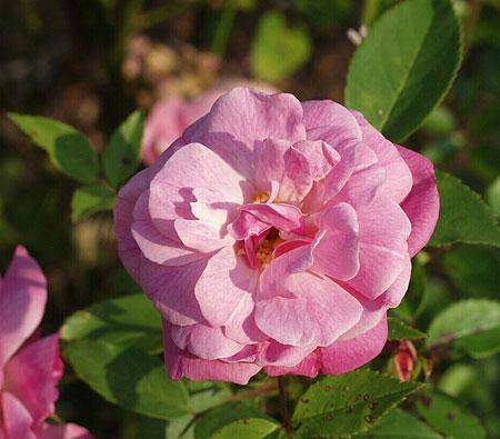 Old Blush Antique Rose Essence, Rosa chinesis