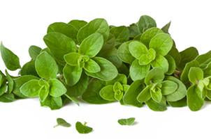 Oregano, Oreganum vulgare, Essential Oil