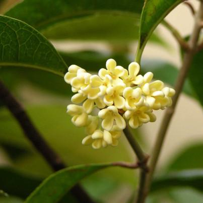 Osmanthus Absolute Osmanthus fragrans)