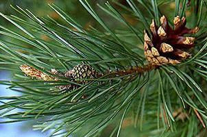 Pine, Pinus sylvestris, Essential Oil