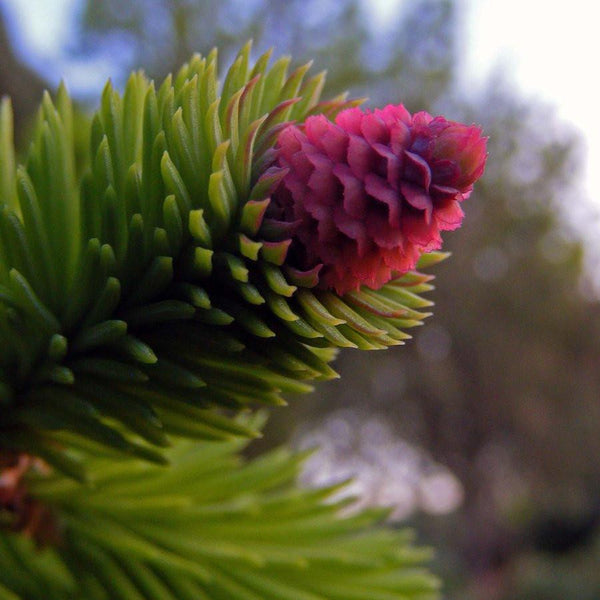 Pine Flower or cone