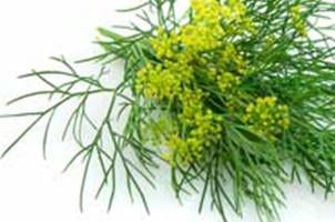Sweet Fennel, Foeniculum vulgare, Essential Oil