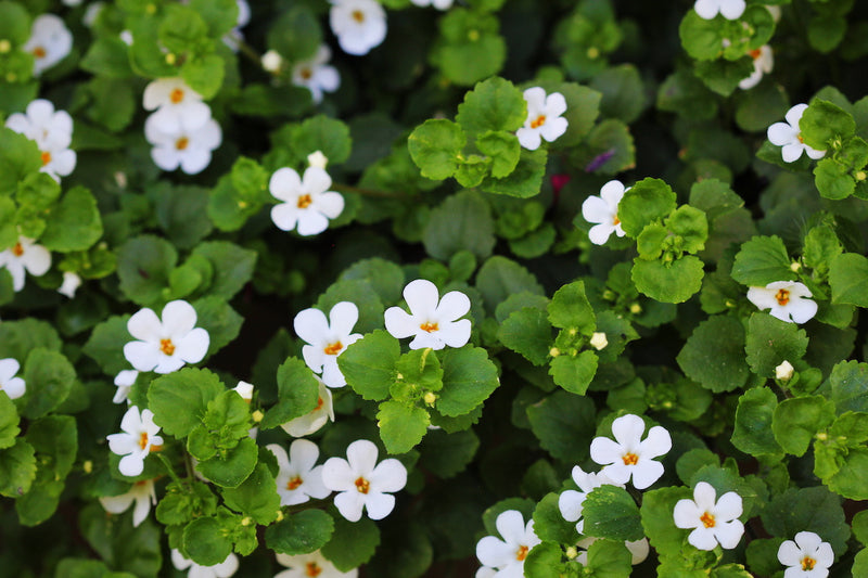 Meta-analysis of randomized controlled trials on cognitive effects of Bacopa monnieri extract