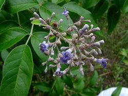 Insight into the bronchodilator activity of Vitex negundo