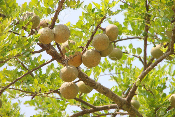 Effect of aqueous extract of Aegle marmelos unripe fruit on inflammatory bowel disease